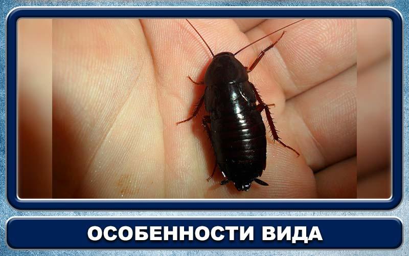 Канализационный таракан как избавиться