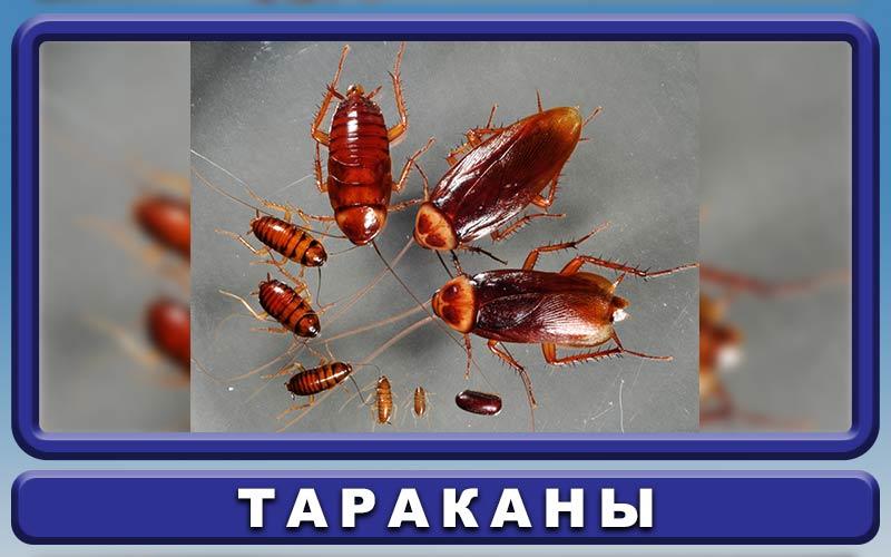 Большое насекомое похожее на таракана