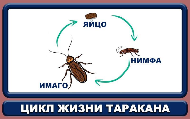 Сколько лет живет таракан
