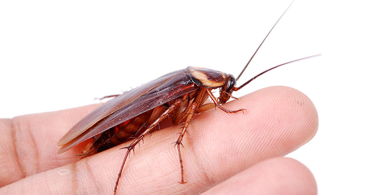 Сколько яиц откладывает самка таракана