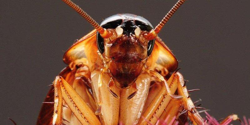 Какие есть виды тараканов и чем они отличаюся