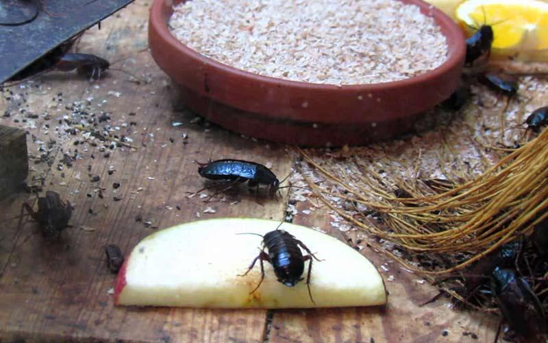 Черный таракан в квартире: как избавиться?