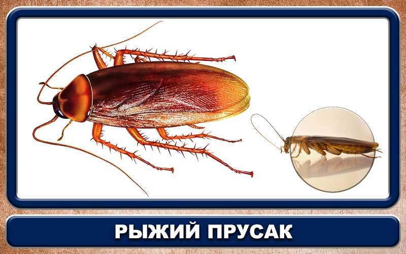 Таракан с крыльями в доме